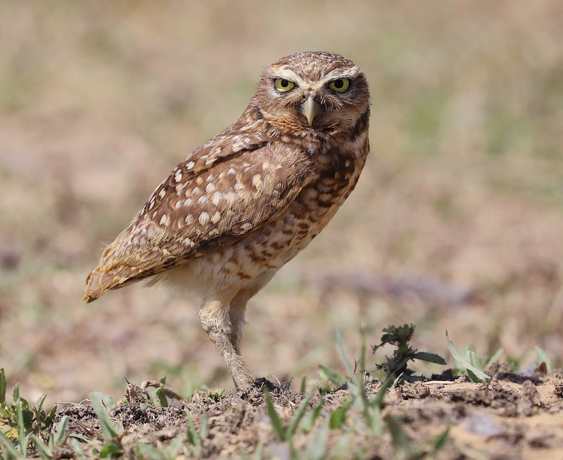 Burrowing Owl_Asthenes cunicularia_Ascanio_Colombia_DZ3A1749