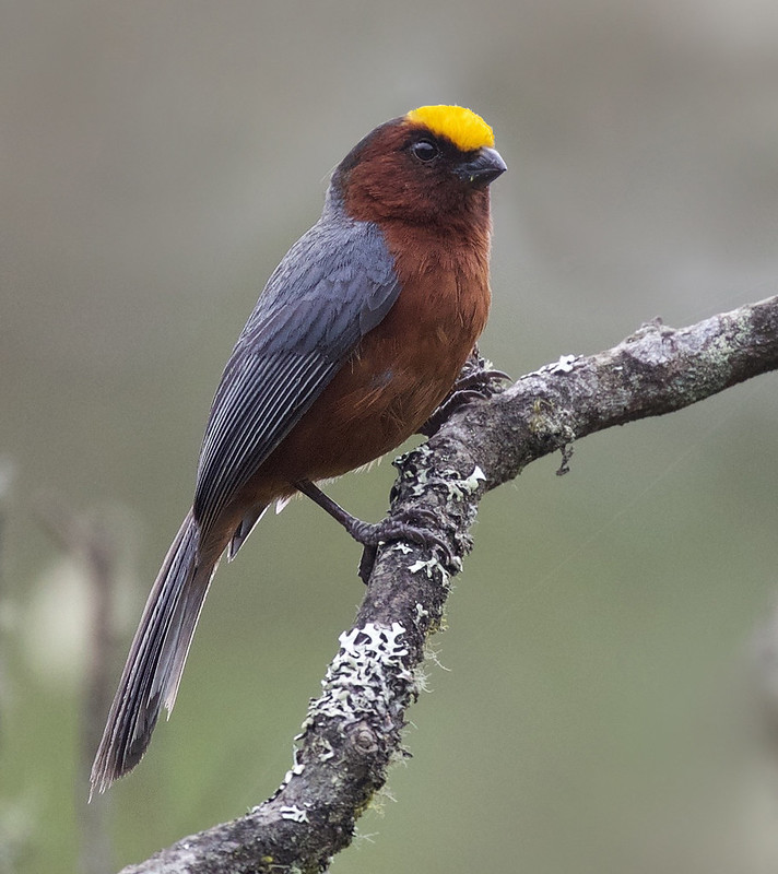 Plushcap_Catamblyrhynchus diadema_Ascanio_Colombia_DZ3A0891