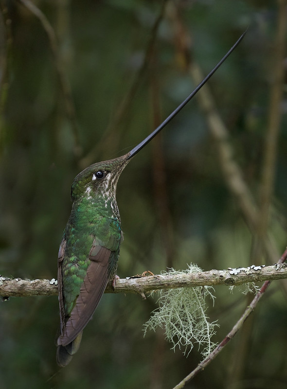 Sword-billed Hummingbird_Ensifera ensifera_Ascanio_Colombia_ DZ3A1214