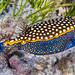Spotted Boxfish, male - Ostracion meleagris