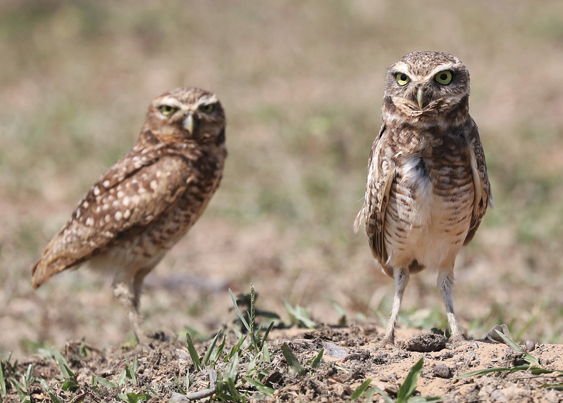 Burrowing Owl_Asthenes cunicularia_Ascanio_Colombia_DZ3A1721
