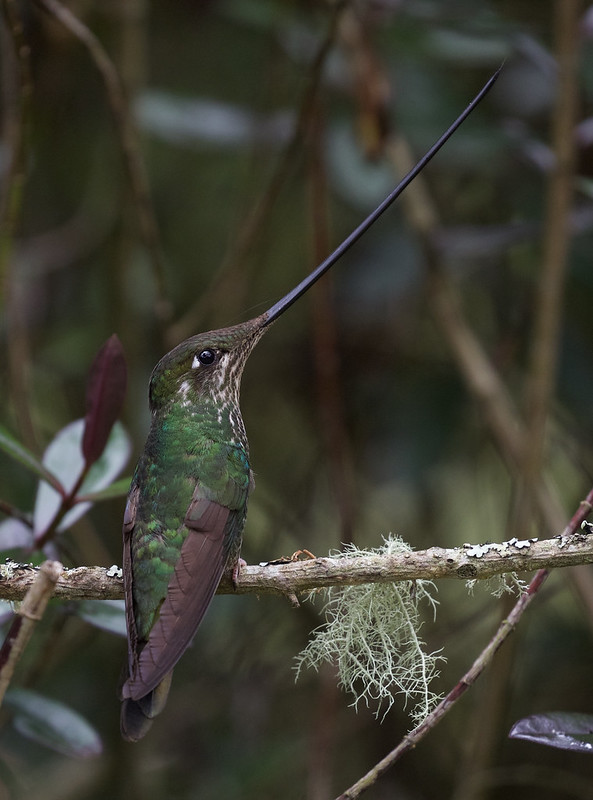 Sword-billed Hummingbird_Ensifera ensifera_Ascanio_Colombia_ DZ3A1214 copy