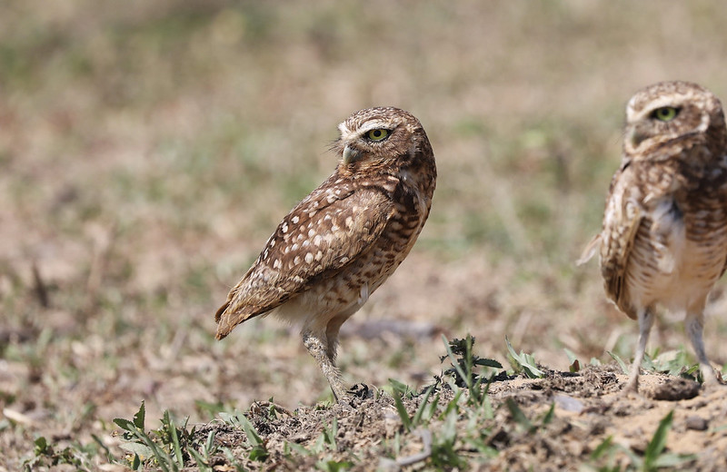Burrowing Owl_Asthenes cunicularia_Ascanio_Colombia_ DZ3A1712