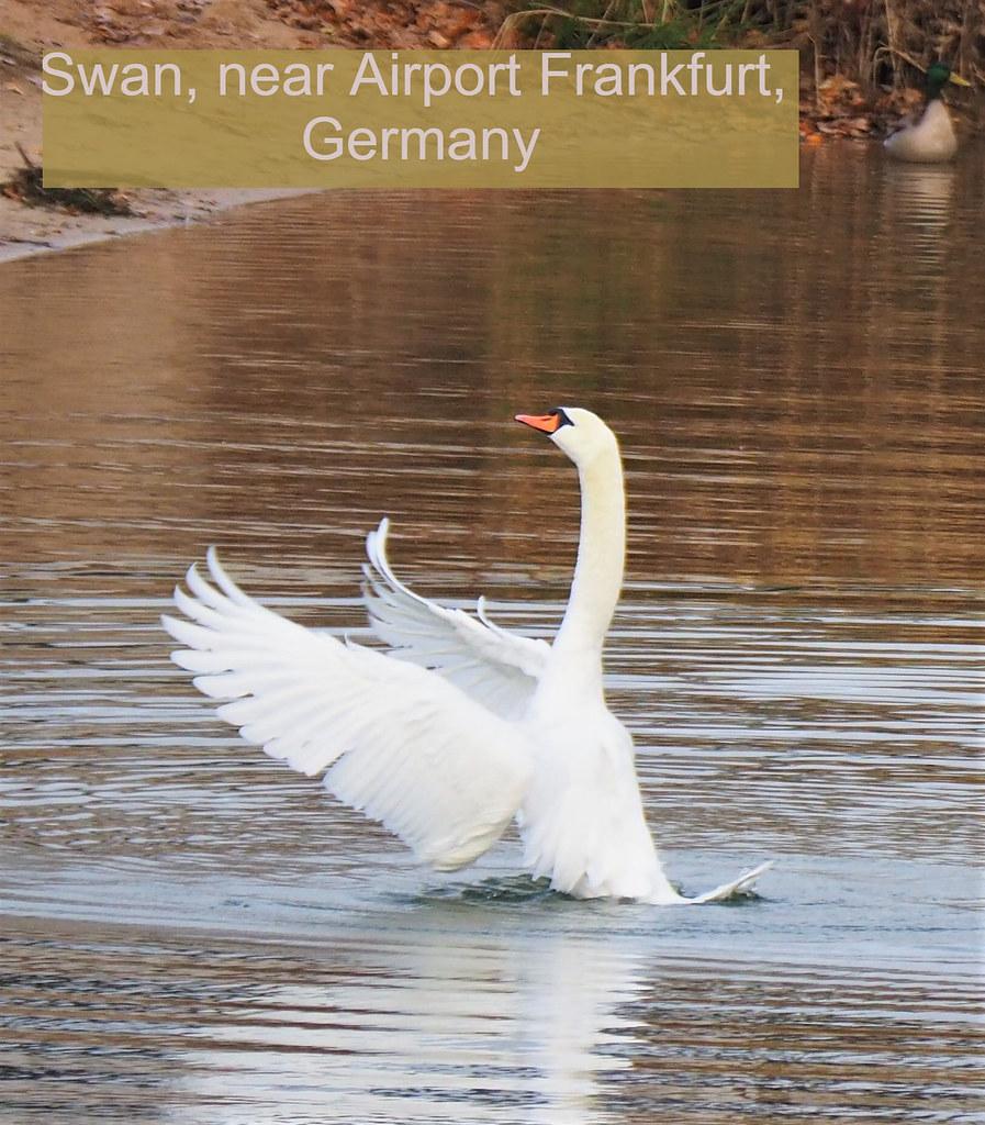 Swan in the Fish Lake in Mörfelden-Walldorf, Germany