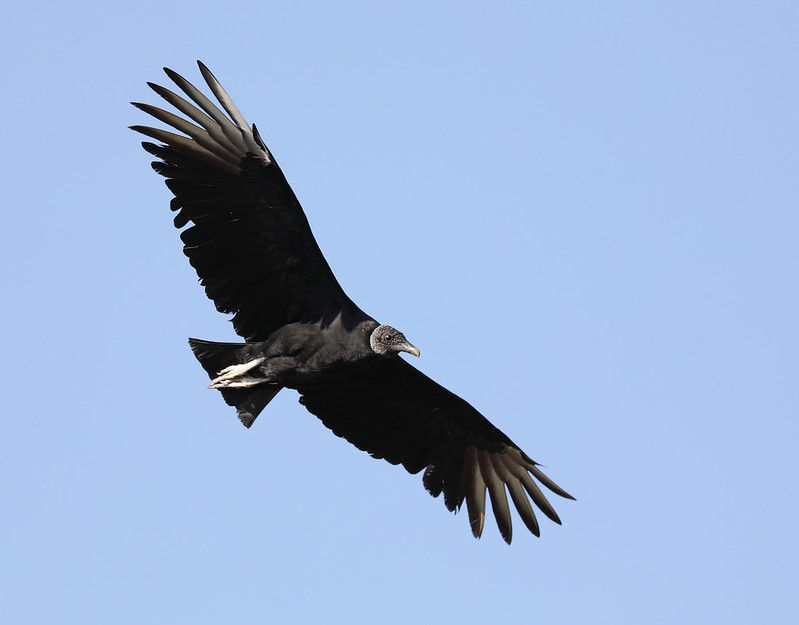 Black Vulture_Coragyps atratus_Ascanio_Colombia_DZ3A1439