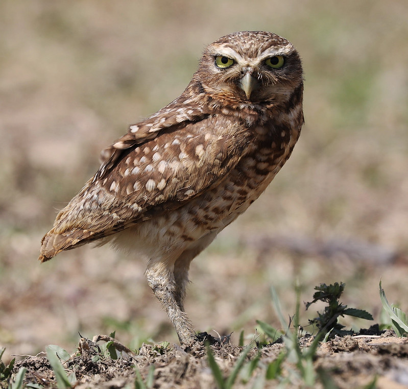 Burrowing Owl_Asthenes cunicularia_Ascanio_Colombia_DZ3A1748