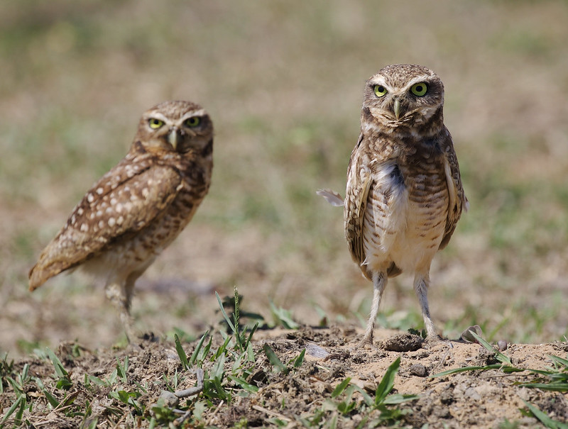 Burrowing Owl_Asthenes cunicularia_Ascanio_Colombia_ DZ3A1722