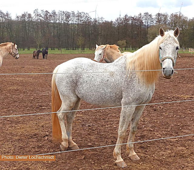 Horse - seen in Germany in the State Rheinland-Pfalz