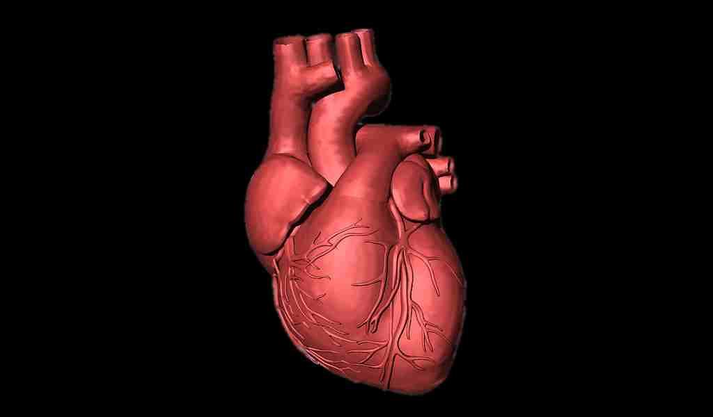Régénérer les cellules cardiaques avec du glucose