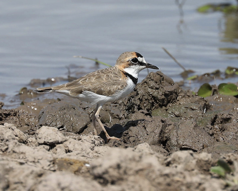 Collared Plover_Charadrius collaris_Ascanio_Colombia_DZ3A1678