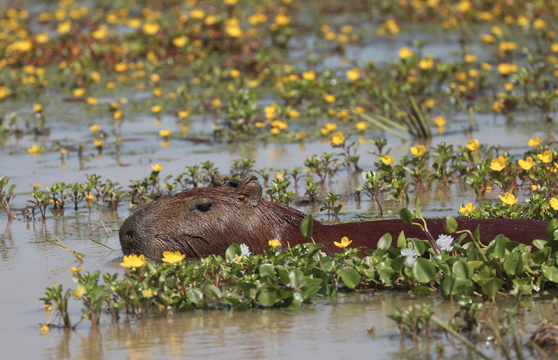 Capybara_Hydrochaeris hydrochaeris_Colombia_Ascanio_DZ3A1598