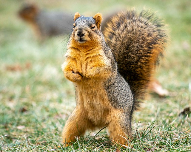 Standing Squirrel looking cool!