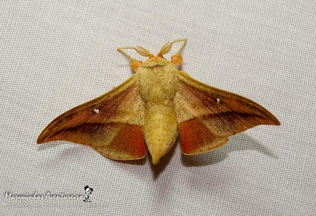 Gonogramma lemoulti - macho (male)