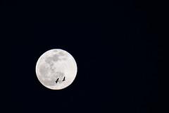 Tandem flight over the full moon (元宵比翼 月前雙飛)