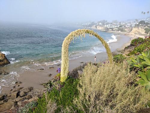 lagunabeach foxtailagave agave agaveattenuata beach woman fog framed