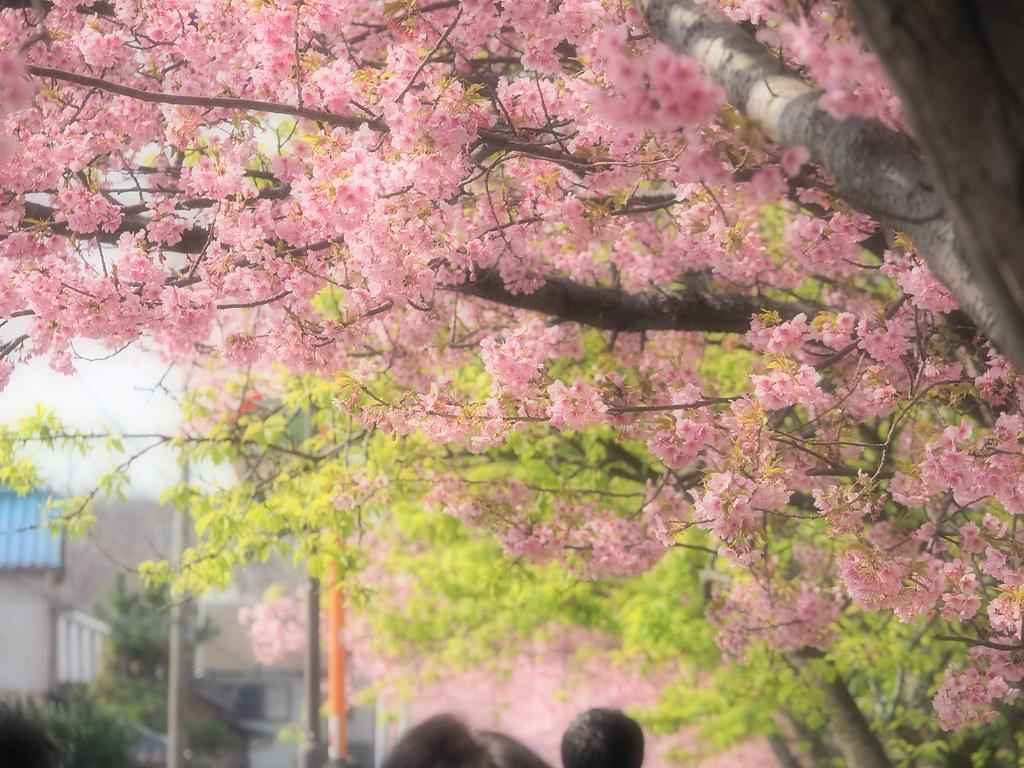 Miura Kawadu Sakura