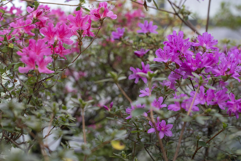 Фондовая оранжерея Ботанического сада_азалия_4