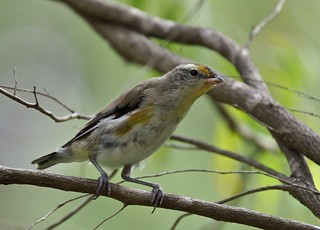 Pardalote - Striated (juv.) | by tregotha1