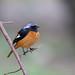 黃尾鴝 Daurian Redstart