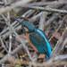 Kingfisher -202002220105.jpg