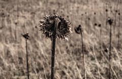 Sunflowers no more. . .