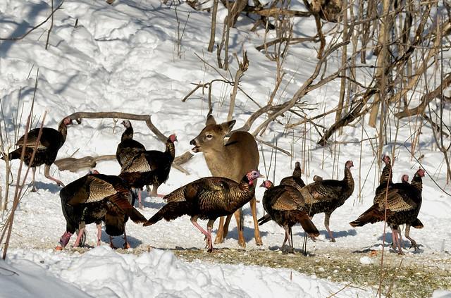 Cerf de Virginie et dindons sauvages --------------- White-tailed deer  and wild  turkey ------------------------   Ciervo de Virginia  y  guajolote