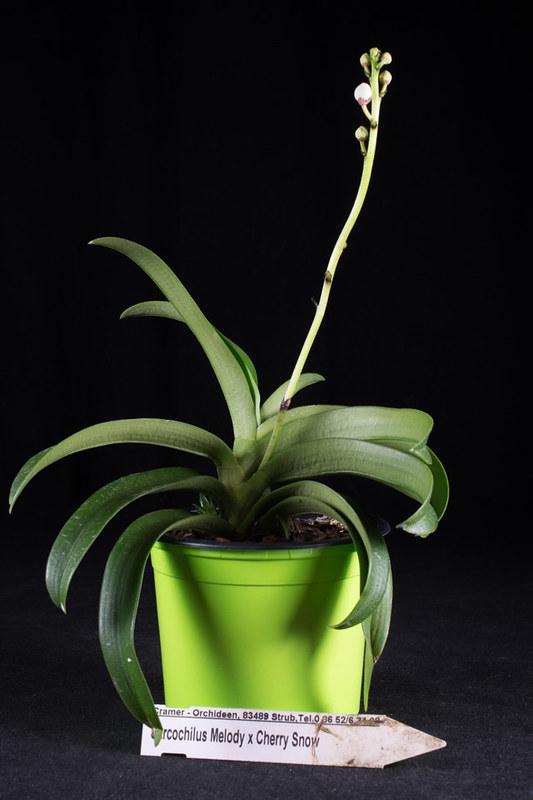 Orchideen-Neuzugang 2 - Seite 28 49569268768_7a1946ee27_c