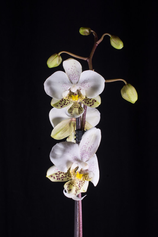 Orchideen-Neuzugang 2 - Seite 28 49569269483_a2e1ba0c8f_c