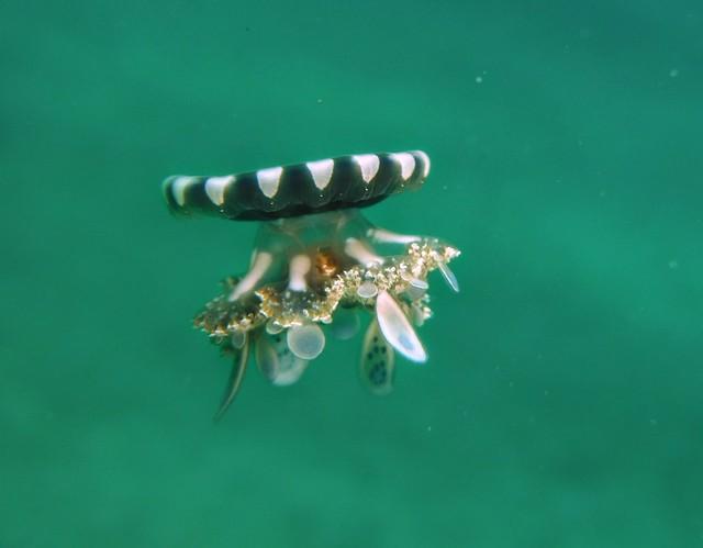 Cassiopea andromeda
