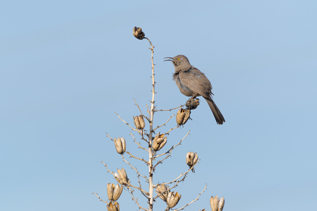 A curve-billed thrasher sings from a soaptree yucca flower stalk on a sunny winter morning on the Brown's Ranch Road trail in McDowell Sonoran Preserve in Scottsdale, Arizona in January 2020
