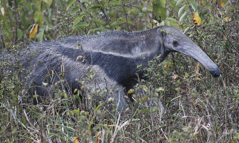 Giant Anteater_Myrmecophaga tridactyla_Ascanio_Colombia_DZ3A1791