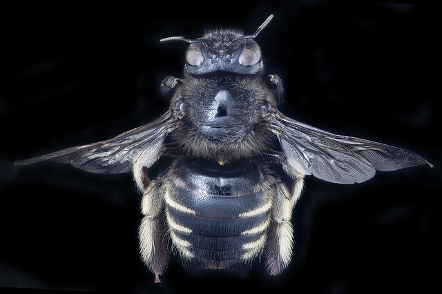 Xylocopa tabaniformis, f, back, Orange Co. FL_2020-02-17-12.55.45 ZS PMax UDR