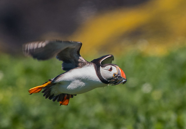 Puffin returning from the sea with a bill full of sand eels. Staple Island, Farnes, Northumberland. DSC_4118.jpg