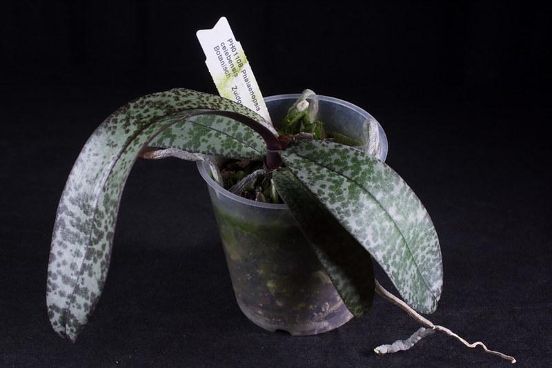 Orchideen-Neuzugang 2 - Seite 28 49569996527_0180397b76_c