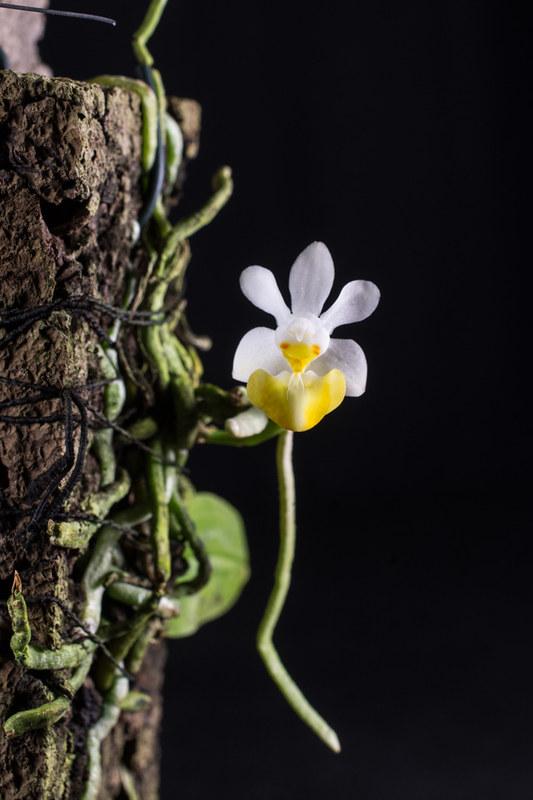 Orchideen-Neuzugang 2 - Seite 28 49569997162_3ae218f1f6_c