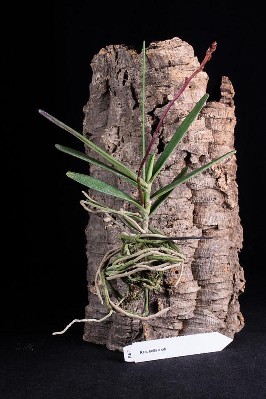 Orchideen-Neuzugang 2 - Seite 28 49569997592_e72e111039_c