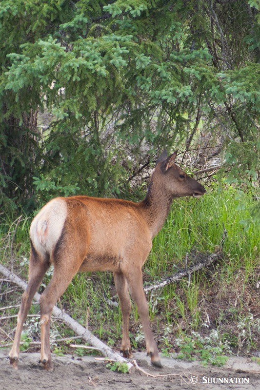 Kanadanhirvi, vasa, Jasper National Park