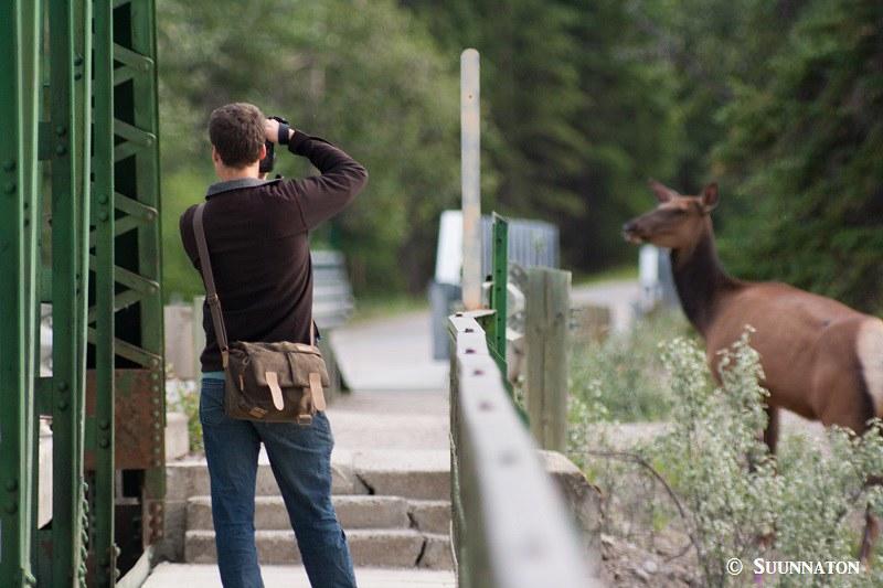 Kanadanhirvi, ihminen, Jasper National Park