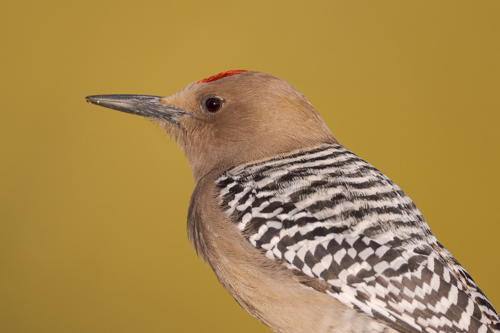 A close-up view of the head and back of a male Gila woodpecker as he perches on the railing in our backyard in the Troon neighborhood of Scottsdale, Arizona in February 2020