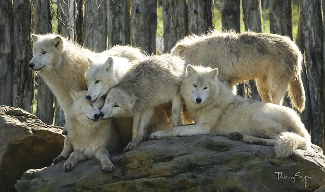 Polar Wolves family. Canis lupus arctos