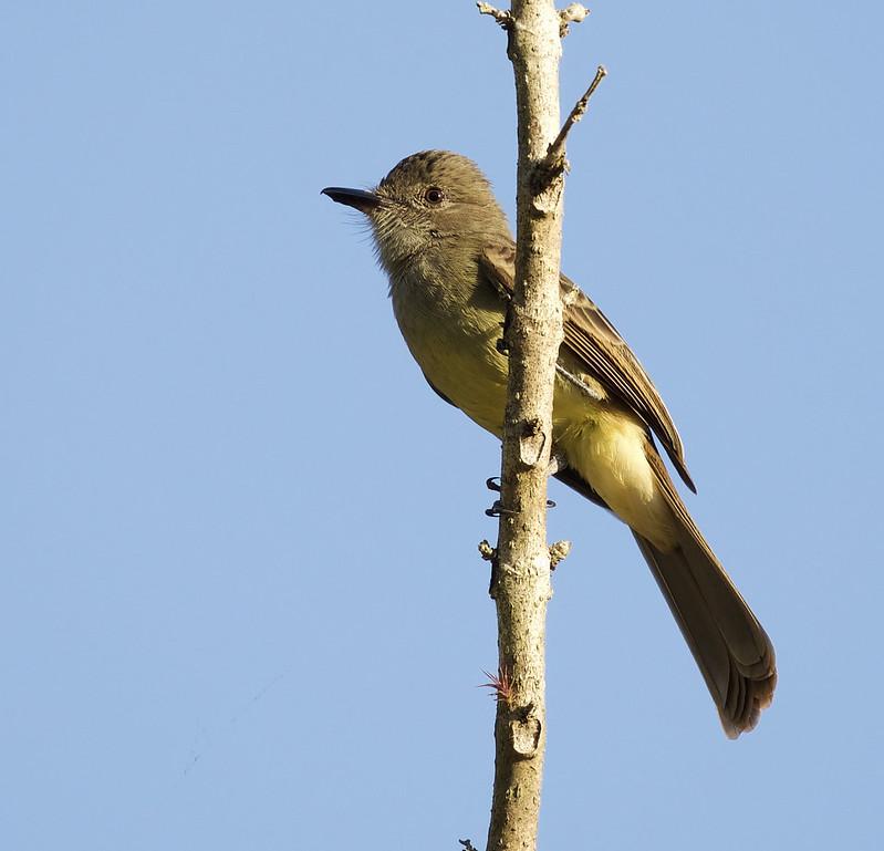 Short-crested Flycatcher_Myiarchus ferox_Ascanio_Colombia_DZ3A1343