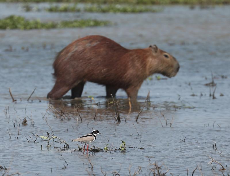 Pied Lapwing and Capybara_Vanellus cayanus and Hydrochaeris hydrochaeris_Ascanio_Colombia_DZ3A1609