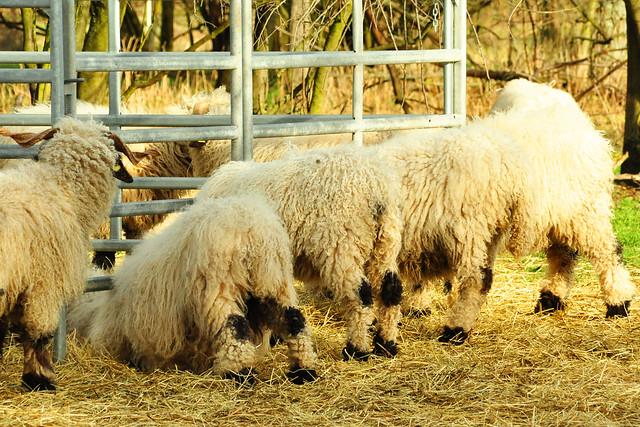 Februar 2020 ... Besuch bei den Schafen und Rindern in Mannheim-Seckenheim ... Fotos: Brigitte Stolle