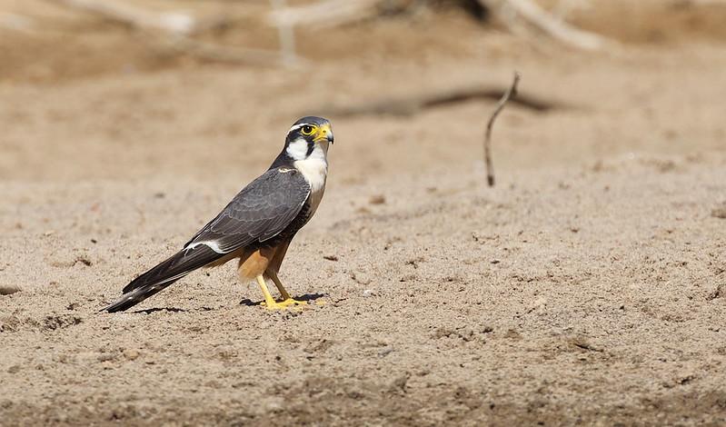 Aplomado Falcon_Falco femoralis_Ascanio_Llanos Colombia_DZ3A2200