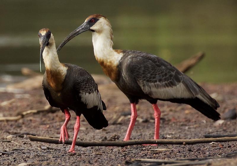 Buff-necked Ibis_Theristicus caudatus_Colombian llanos_Ascanio_DZ3A3662