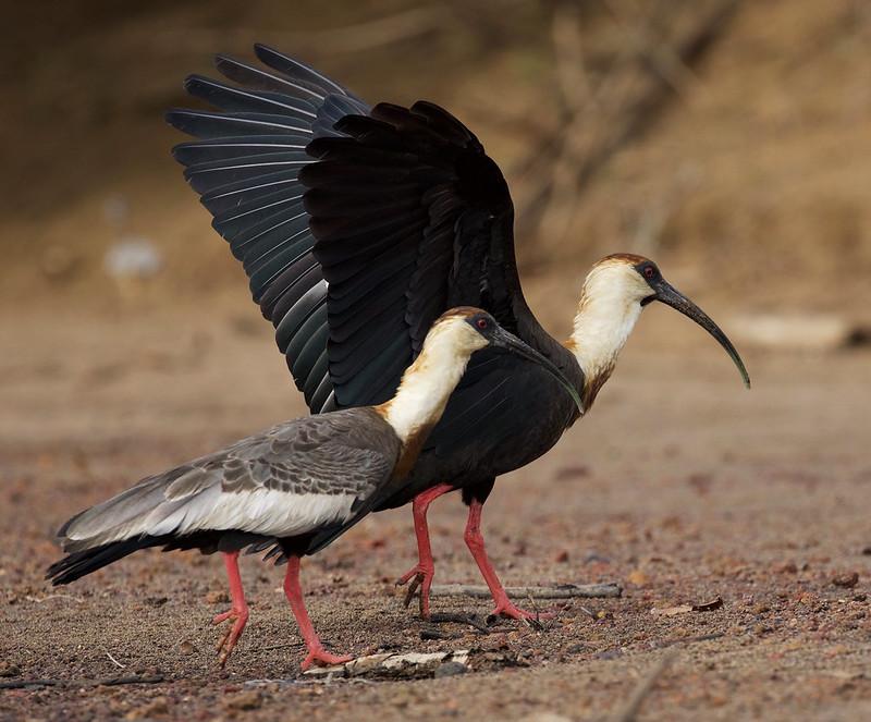 Buff-necked Ibis_Theristicus caudatus_Colombian llanos_Ascanio_DZ3A3702