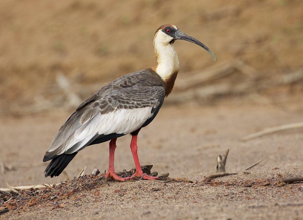 2020 VENT A Birding Adventure in the Llanos of Colombia