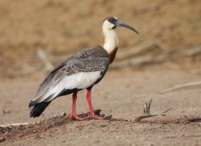 Buff-necked Ibis_Theristicus caudatus_Colombian llanos_Ascanio_DZ3A3714