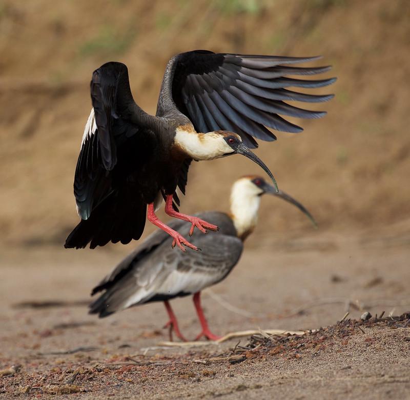 Buff-necked Ibis_Theristicus caudatus_Colombian llanos_Ascanio_DZ3A3708