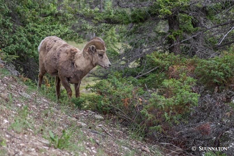 Paksusarvilammas, Jasper National Park